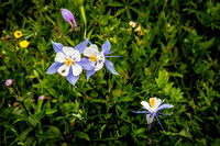 Columbine (Crested Butte, CO)