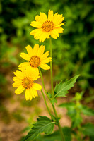 Sneezeweed (Crested Butte, CO)