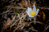 Pasche flower (Ute Valley Park)