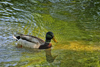 Impressionistic Duck - South Bend, IN