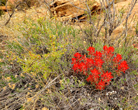 Indian Paintbrush - Rattlesnake Canyon