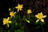 Yellow Columbine in Queen's Canyon